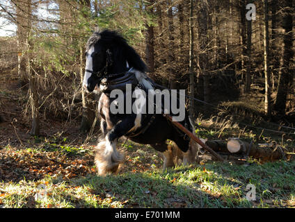 a black and white gypsy cob pulling timber at a gallop - Stock Photo