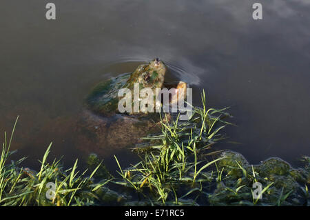 A snapping turtle in water with an open mouth. - Stock Photo