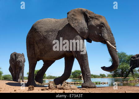 African elephants (Loxodonta africana) at waterhole, Madikwe Game Reserve, North West Province, South Africa, Africa - Stock Photo