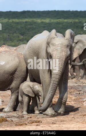 African elephant mother and baby at Hapoor waterhole, Addo Elephant National Park, Eastern Cape, South Africa - Stock Photo