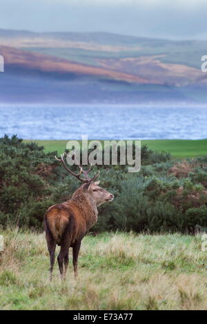 Red deer stag (Cervus elaphus), Isle of Arran, Scotland, United Kingdom, Europe - Stock Photo
