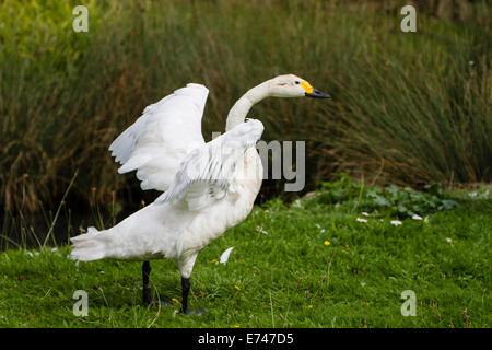 Bewick's Swan (Cygnus columbianus bewickii) - Stock Photo