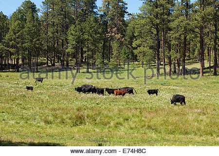 Cattle in mountain meadow Apache National Forest Arizona - Stock Photo