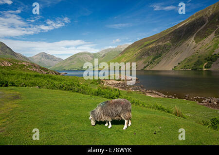 Herdwick sheep grazing beside Wastwater lake among mountain peaks draped under blue sky in Lake District, Cumbria, - Stock Photo