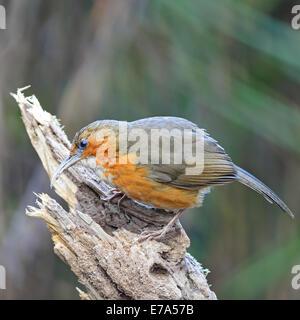 Brown bird, Rusty-cheeked Scimitar-babbler (Pomatorhinus erythrogenys), standing on the log, back profile - Stock Photo