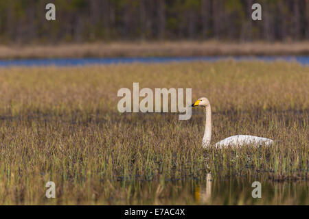 Whooper swan, Cygnus cygnus, lying resting in grass in a swamp - Stock Photo