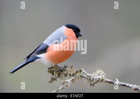Bullfinch (Pyrrhula pyrrhula) perched on wooden branch. - Stock Photo