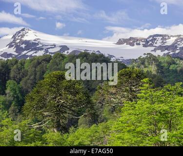 Monkey puzzle trees (Araucaria araucana), Conguillío National Park, Melipeuco, Región de la Araucanía, Chile - Stock Photo