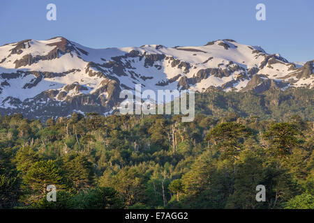 Forest with Monkey puzzle trees (Araucaria araucana) and snow-capped mountains, Conguillío National Park, Melipeuco - Stock Photo