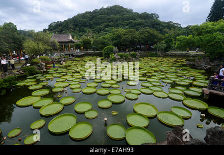 Taipei's Taiwan. 11th Sep, 2014. Giant leaves of Victoria are seen during an aquatic plants exhibition at the Shuangxi - Stock Photo