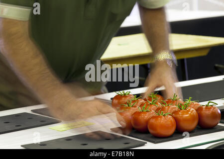 Harrogate, Yorkshire, UK. 11th Sept, 2014.  Adjusting tomato display at the Harrogate Annual Autumn Flower Show, - Stock Photo