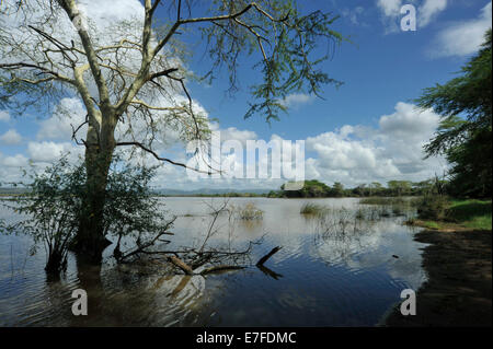 Reflection of Fever tree Acacia xanthophloea in calm water of Nsumo pan in Mkhuze nature reserve KwaZulu-Natal South - Stock Photo