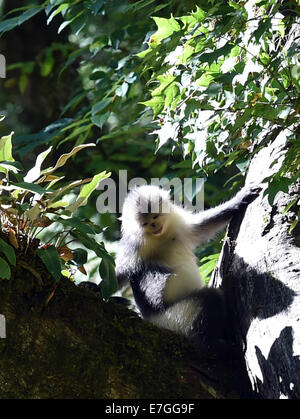 Dequn, Yunnan, China. 17th September, 2014. A black snub-nosed monkey (Rhinopithecus bieti) looks for food in the - Stock Photo