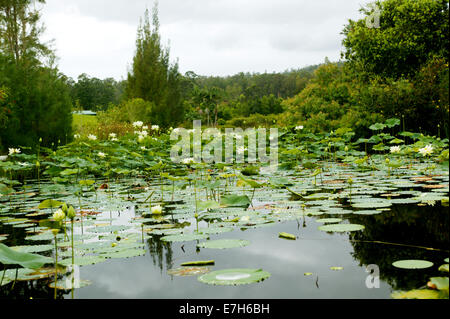 A pond with lilies and aquatic plants. - Stock Photo