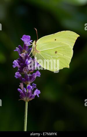 Animal, Insect, Common Brimstone, Gonepteryx rhamni, Butterfly, Pieridae, Arthropoda, Lepidoptera, Wings, Yellow, - Stock Photo