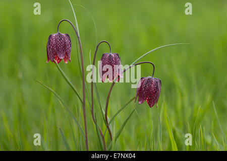 Nature, Flower, fritillary, snake's head guinea-hen flower, chess flower, Plantae, Liliales, Fritillaria meleagris, - Stock Photo