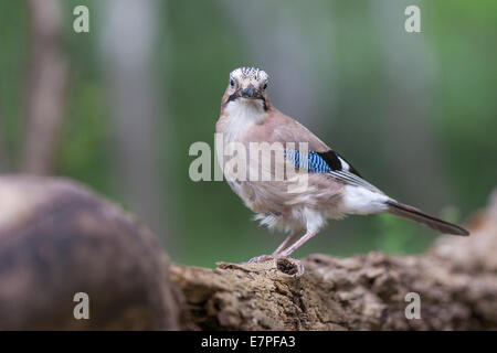 Eurasian Jay (Garrulus glandarius)standing on a log - Stock Photo