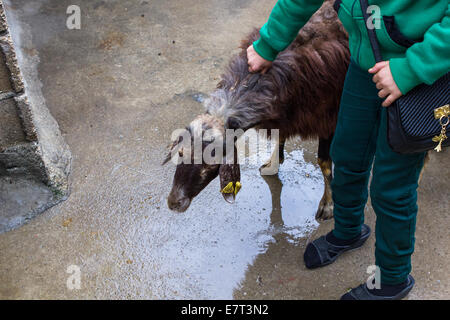 A sacrificial ram, held by a young girl, is ready to be killed during the Islamic Feast of Sacrifice, in Gaziantep, - Stock Photo