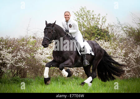 Friesian or Frisian horse, stallion, female rider cantering - Stock Photo