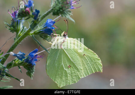 Brimstone feeding on a blue Echium - Stock Photo