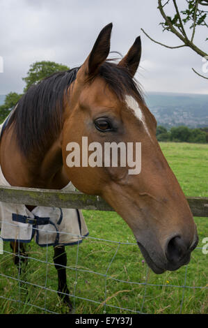 Close-up of head & front part of body of friendly, brown, pet, bay horse in rug, leaning over wooden & wire field - Stock Photo