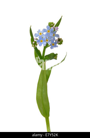Water forget-me-not (Myosotis scorpioides) - Stock Photo