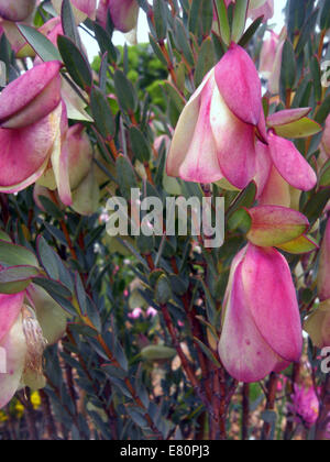 Quaalup Bell (Pimelea physodes), a spectacular wildflower found only in southwest of Western Australia - Stock Photo
