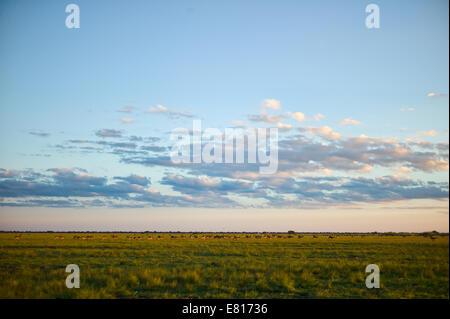 Big sky and big herd of black lechwe in Bangweulu Wetlands - Stock Photo