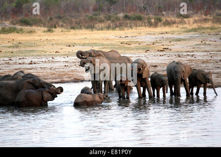 Hwange, Zimbabwe. 27th Sep, 2014. An elephant herd is spotted near nyamandhlovu pan, a popular water-hole in the - Stock Photo