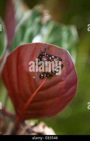 Stock Photo Lemon Butterfly Papilio demoleus pair mating captive - Stock Photo