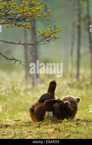 Brown bear cub playing (Ursus arctos) in Taiga Forest, Finland - Stock Photo