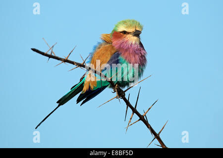 Lilac-breasted roller (Coratias caudata) perched on a branch against a blue sky, South Africa - Stock Photo