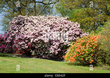 The Rhododendron Gardens at Bowood House, Derry Hill, Calne, Wiltshire - Stock Photo
