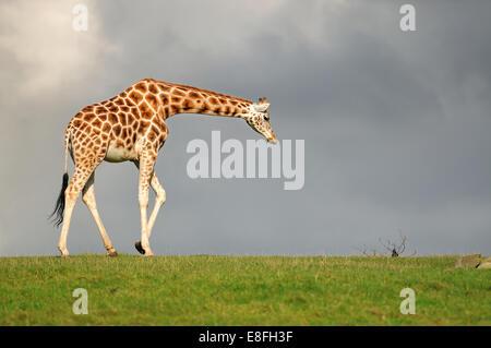 Giraffe walking against dark sky - Stock Photo