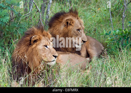 Two lions lying in grass, Limpopo, South Africa - Stock Photo