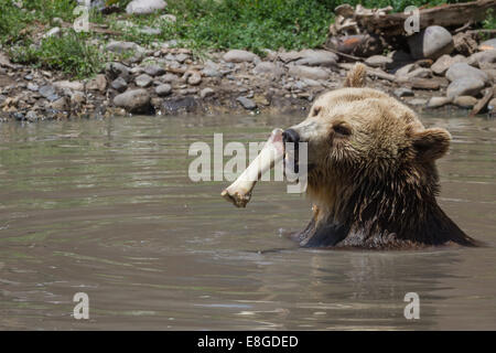 large grizzly bear biting a bone in a pond with dirty water - Stock Photo