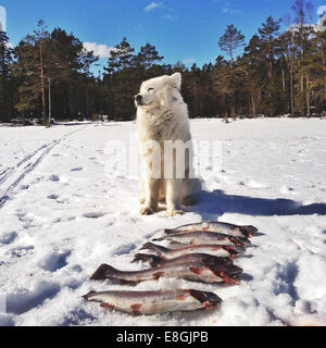 Dog watching over fishing catch, Sweden - Stock Photo