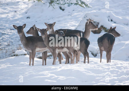 Fallow Deer (Dama dama), herd standing in the snow, captive, Bavaria, Germany - Stock Photo