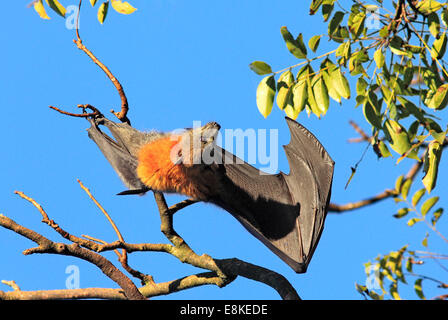 Grey Headed Flying Fox, Pteropus poliocephalus, with wing open. - Stock Photo