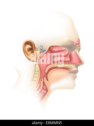 Anatomy of inner ear and sinuses. - Stock Photo