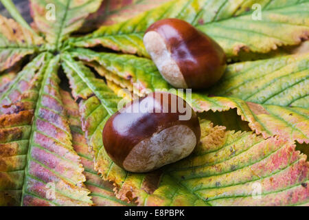 Aesculus hippocastanum. Two horse chestnuts on leaves. - Stock Photo