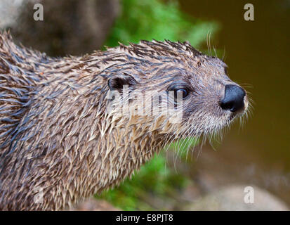 North American River Otter (lontra canadensis) - Stock Photo