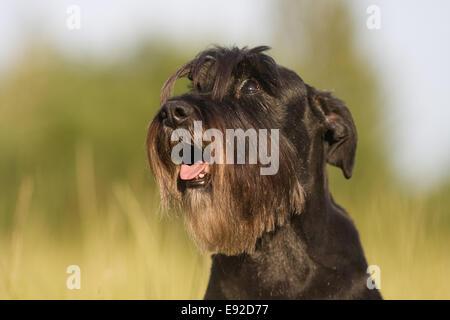 standard schnauzer looks up - Stock Photo