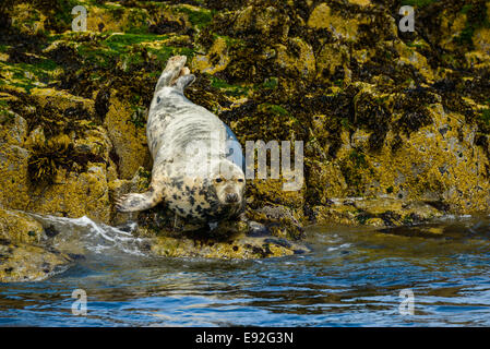A young, molting moulting Atlantic Grey Seal Gray (Halichoerus grypus) on rocks at the water's edge, looks at camera. - Stock Photo