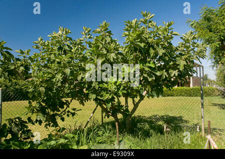 Common fig - Ficus carica, Brenes, Seville province, Region of Andalusia, Spain, Europe - Stock Photo