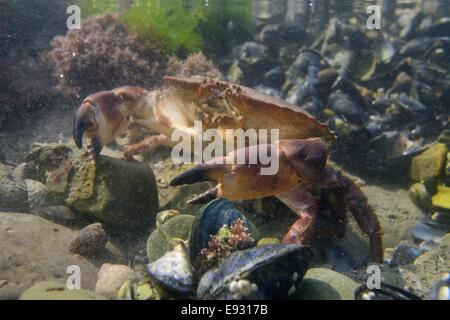 Edible crab (Cancer pagurus) walking in a rockpool low on a rocky shore among Common mussels (Mytilus edulis). - Stock Photo