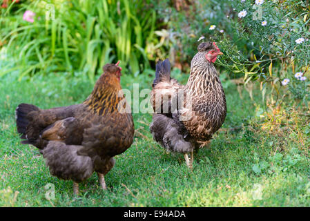 egg laying hens in the yard - Stock Photo