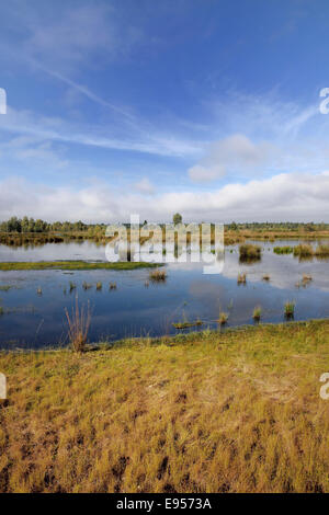Waterlogged, renatured bog with bulrushes (Schoenoplectus lacustris), former peat cultivation region, Raubling, - Stock Photo