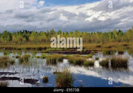Waterlogged, renatured bog with bulrushes (Schoenoplectus lacustris), common reed (Phragmites australis) and birch - Stock Photo