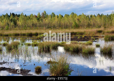Waterlogged, renatured bog with bulrushes (Schoenoplectus lacustris), common reed (Phragmites australis) and birches - Stock Photo